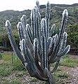 Woolly Torch Cactus - cephalocereus palmeri (3593379037).jpg