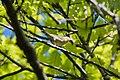 Worm-eating Warbler (7235499666).jpg