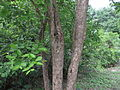 Wrightia Tinctoria bark 013.JPG