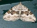 Xanthorhoe montanata - Silver-ground carpet - Ларенция щавелевая (26087816127).jpg