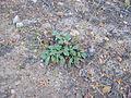 Xolantha tuberaria semillas Valderepisa 2011-06-23 SierraMadrona.jpg