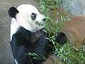 Yaya the Panda eats bamboo (Memphis Zoo, 5 August 2007).jpg