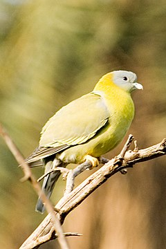 Yellow-footed green pigeon Treron phoenicoptera (2156066524).jpg