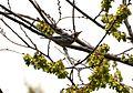 Yellow-throated Warbler (13789993955).jpg