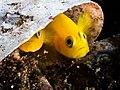 Yellow clown goby (Gobiodon okinawae) (25377305857).jpg