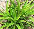 Yucca rupicola 2.jpg