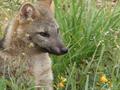 ZORRO DE MONTE - FOX OF MOUNT - Cerdocyon thous 3.png