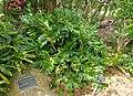 Zamia furfuracea - Mounts Botanical Garden - Palm Beach County, Florida - DSC03787.jpg