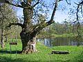Zaube Oak - panoramio.jpg