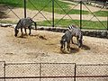 Zebre u beogradskom ZOO vrtu.jpg