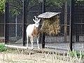 Zoo Praha, přímorožec šavlorohý.jpg