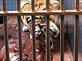 Zoo tiger - panoramio (2).jpg