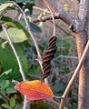 (Helicteres isora) East Indian screw tree seed at Kambalakonda 04.JPG