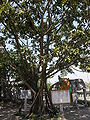 Đình La Xuyên, cây đa.JPG