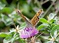 Буроглазка Мегера (Краеглазка мегера) - Wall Brown - Lasiommata megera - Mauerfuchs (30767408425).jpg