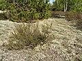 Вересово-кладонієвий дерен в заказнику Полігон.jpg