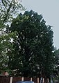 Виноградів Дуб пірамідальний.jpg