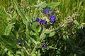 Воловик лікарський (Anchusa officinalis) на території ботанічного заказника «Стрижавські орхідеї» P1220614.jpg