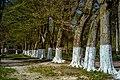 Дерева в Маліївському парку.jpg