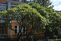 Дрогобич, оцтове дерево вул. І. Франка, 16.jpg