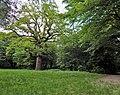 Дуби — Голосіївські велетні, дуб край галявини.jpg