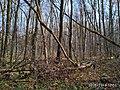 Еталонна діброва Вінницьке лісництво 2.jpg