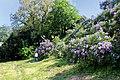 Національний ботанічний сад ім. М.Гришка Бузок 03.JPG
