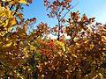 Осенний монгольский дуб.jpg