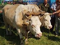 Українські воли на Сорочинському ярмарку 2008.JPG