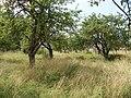 Яблоневый сад - panoramio (15).jpg