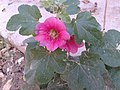 گل ختمی باغی سرخ.jpg