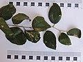 बोर, रामपूर, शहादा, नंदुरबार Bor, Rampur,Shahada, Nandurbar (Indian jujube) leaf.jpg