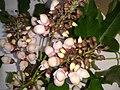 புங்கமரம் 1 ( Millettia pinnata).jpg