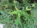 ヌスビトハギ(盗人萩)(Desmodium podocarpum subsp. oxyphyllum)-葉 (8192900678).jpg
