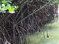 五梨跤 Rhizophora stylosa - panoramio.jpg