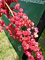 台灣藜 Chenopodium formosanum -台北植物園 Taipei Botanical Garden- (35348862120).jpg