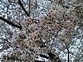 天神川の桜 - panoramio.jpg