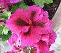 天竺葵屬 Pelargonium cucullatum -比利時國家植物園 Belgium National Botanic Garden- (9157035575).jpg