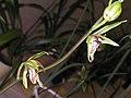 寒蘭蝶花 Cymbidium kanran 'Butterfly' -香港沙田國蘭展 Shatin Orchid Show, Hong Kong- (12304391564).jpg