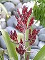小光萼荷 Aechmea gracilis -香港房委樂富花展 Lok Fu Flower Show, Hong Kong- (9204835965).jpg