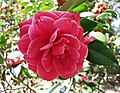 山茶花-重瓣玫瑰型 Camellia japonica Double - Rose Form -日本京都植物園 Kyoto Botanical Garden, Japan- (9204835789).jpg