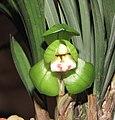 春蘭環球荷鼎 Cymbidium goeringii 'World Lotus Champion' -香港沙田國蘭展 Shatin Orchid Show, Hong Kong- (12316681105).jpg