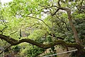 樟樹 Camphor Tree - panoramio.jpg