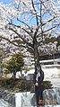 湖畔の桜の前で - panoramio.jpg