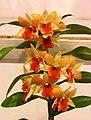 石斛蘭 Dendrobium Frosty Dawn x Rong Kamol -台南國際蘭展 Taiwan International Orchid Show- (27006744228).jpg