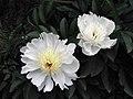 芍藥-巧玲 Paeonia lactiflora -北京植物園 Beijing Botanical Garden, China- (12380585604).jpg