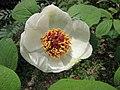 草芍藥 Paeonia obovata -武漢植物園 Wuhan Botanical Garden- (9240221508).jpg