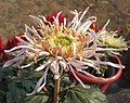 菊花-白龍圖閣 Chrysanthemum morifolium 'White Longtu Chamber' -中山小欖菊花會 Xiaolan Chrysanthemum Show, China- (12010224003).jpg