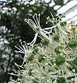 蔥屬 Allium Mount Everest -荷蘭園藝展 Venlo Floriade, Holland- (9229778698).jpg