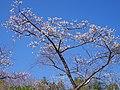 観心寺にて An ume tree in Kanshin-ji 2013.3.15 - panoramio.jpg